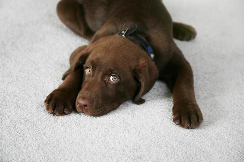 A Healthy Dog on a Clean Carpet
