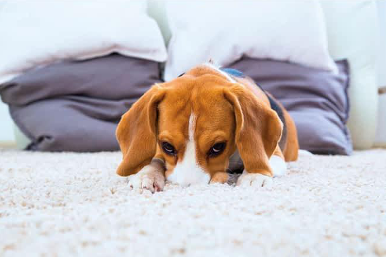 A dog smelling a smelly carpet